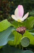 Lotus Seed Pod Posters - Stages of Growth Poster by Sue Alden