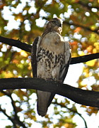 Red-tailed Hawk Prints Posters - Stalker Poster by Jim Simak