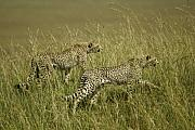 Cheetahs Prints - Stalking Cheetahs Print by Michele Burgess