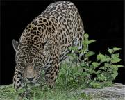 Jaguar Digital Art - Stalking Jaguar 2 by Larry Linton