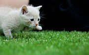 Johannesburg Photos - Stalking Kitten by Sean Sequeira