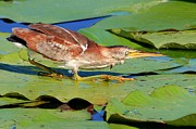 Wade Fishing Photos - Stalking Least Bittern by Ira Runyan