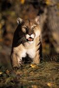 Selection Posters - Stalking Mountain Lion Poster by Natural Selection David Ponton