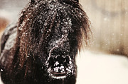 Darlene Terry Metal Prints - Stallion in Snow Metal Print by Darlene Terry