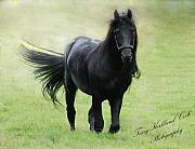 Friesian Posters - Stallion in the Morning Light Poster by Terry Kirkland Cook