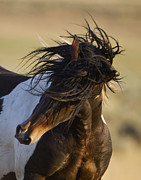 Wild Horse Photo Metal Prints - Stallions Head Shake Metal Print by Carol Walker