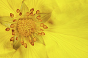 Buttercup Framed Prints - Stamen Framed Print by Billy Currie Photography