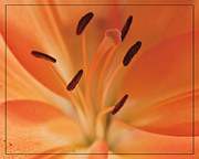 Stamen Digital Art - Stamen-Lily by Garry Rawlinson