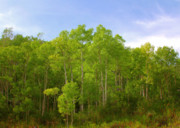 Peaceful Photo Originals - Stand of Quaking Aspen trees by Christine Till