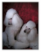 Hugging Digital Art - Standard Poodle white by Maxine Bochnia