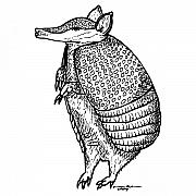 Animal Drawings Posters - Standing Armadillo Poster by Karl Addison