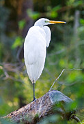 Egret Metal Prints - Standing Egret Metal Print by Scott Hansen