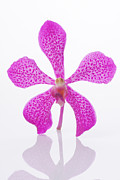 Asian Photos - Standing Orchid Head by Atiketta Sangasaeng