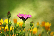 Multicolored Daisy Prints - Standing Out Print by Darren Fisher