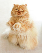 Full-length Portrait Prints - Standing Persian Cat Print by Hulya Ozkok