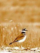 Killdeer Metal Prints - Standing Proud Metal Print by Emily Stauring