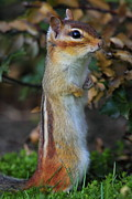 Eastern Chipmunk Photos - Standing Tall - Eastern Chipmunk by Bruce J Robinson