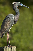 Tricolored Heron Framed Prints - Standing Tall Framed Print by Carolyn Marshall