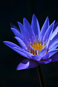 Waterlily Prints - Standing Tall Print by Melanie Moraga