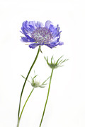 Blue Flower Prints - Standing Tall Print by Rebecca Cozart