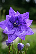 Balloon Flower Posters - Star Balloon Flower Poster by Susan Herber