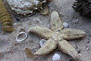 Star Fish Originals - Star Fish and Seashells by Dora Sofia Caputo