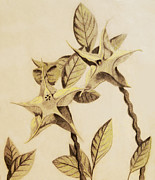 Botanic Drawings - Star Flower by Sara Coolidge