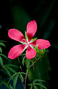 Pink Hibiscus Posters - Star Hibiscus Bloom Poster by Rich Franco