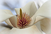 Flower Macro Prints - Star Magnolia Print by Benanne Stiens