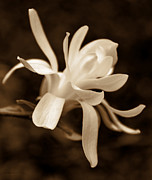 Umber Metal Prints - Star Magnolia Flower Sepia Metal Print by Jennie Marie Schell