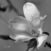 White Flower Photos - Star Magnolia in black and white by Suzanne Gaff