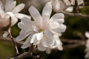 Rose Pleasure Paintings - Star Magnolia Painting by Don  Wright