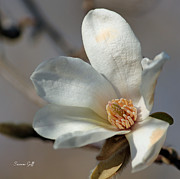Blooming Tree Posters - Star Magnolia Poster by Suzanne Gaff