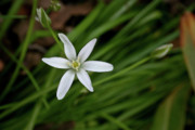 Star Of Bethlehem Photo Posters - Star of Bethlehem Flower Poster by Brent Parks