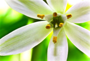 Star-of-bethlehem Framed Prints - Star of Bethlehem Grass Lily Framed Print by Ryan Kelly