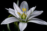 Star Of Bethlehem Photo Posters - Star of Bethlehem Poster by Lori Coleman