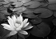 Water Lilly Photos - Star on the Pond in Black by Sally Siko