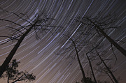 Bare Trees Posters - Star Trails Inside Of A Pine Forest Poster by Miguel Claro