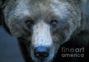 Yellowstone Metal Prints - Stare Down Metal Print by Sandra Bronstein