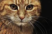 Cat Picture Posters - Stare Poster by Tilly Williams