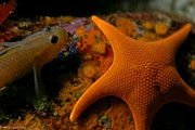 Starfish And Friend Print by Mitch Shindelbower