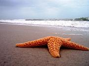 Anna Villarreal Garbis Posters - Starfish Beach Poster by Anna Villarreal Garbis