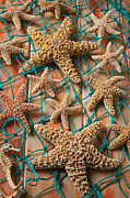 Echinoderm Photos - Starfish in net by Garry Gay