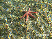 Under Water. Nature Posters - Starfish In Shallow Water Poster by Ted Kinsman