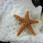 Star Fish Originals - Starfish On Sponge by Florene Welebny