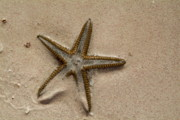 Blending Posters - Starfish partially buried in white sand Poster by Sami Sarkis