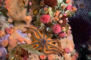 Proliferating Prints - Starfish, Proliferating Sea Anemones Print by Paul Nicklen