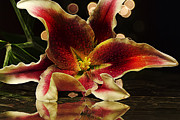 Stargazer Lily Prints - Stargazed Reflections Print by Bill Tiepelman