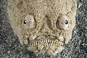 Stargazer Photos - Stargazer Fish by Matthew Oldfield