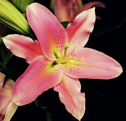 Lily Flowers - Stargazer in bloom by Cathie Tyler